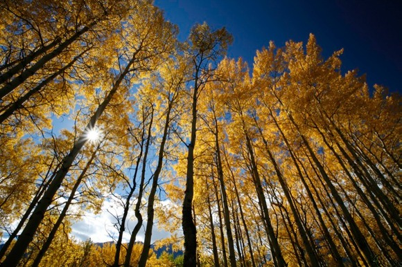 Aspen Trees,Bow Valley