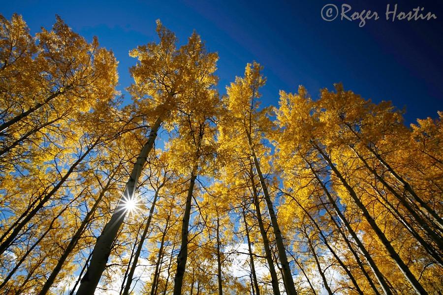 Sunburst Through Birch Trees